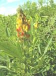 Crotalaria goreensis
