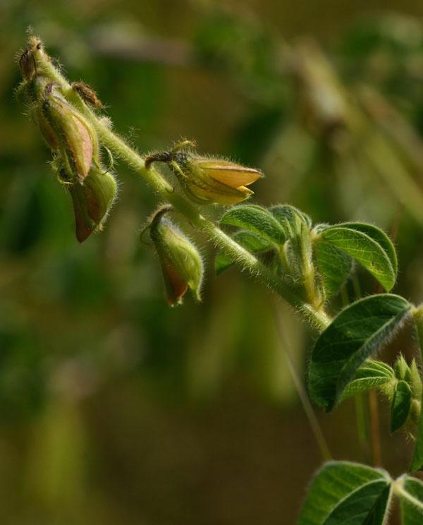 Crotalaria incana subsp. purpurascens