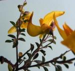 Crotalaria laburnifolia subsp. laburnifolia