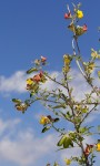 Crotalaria natalitia var. rutshuruensis