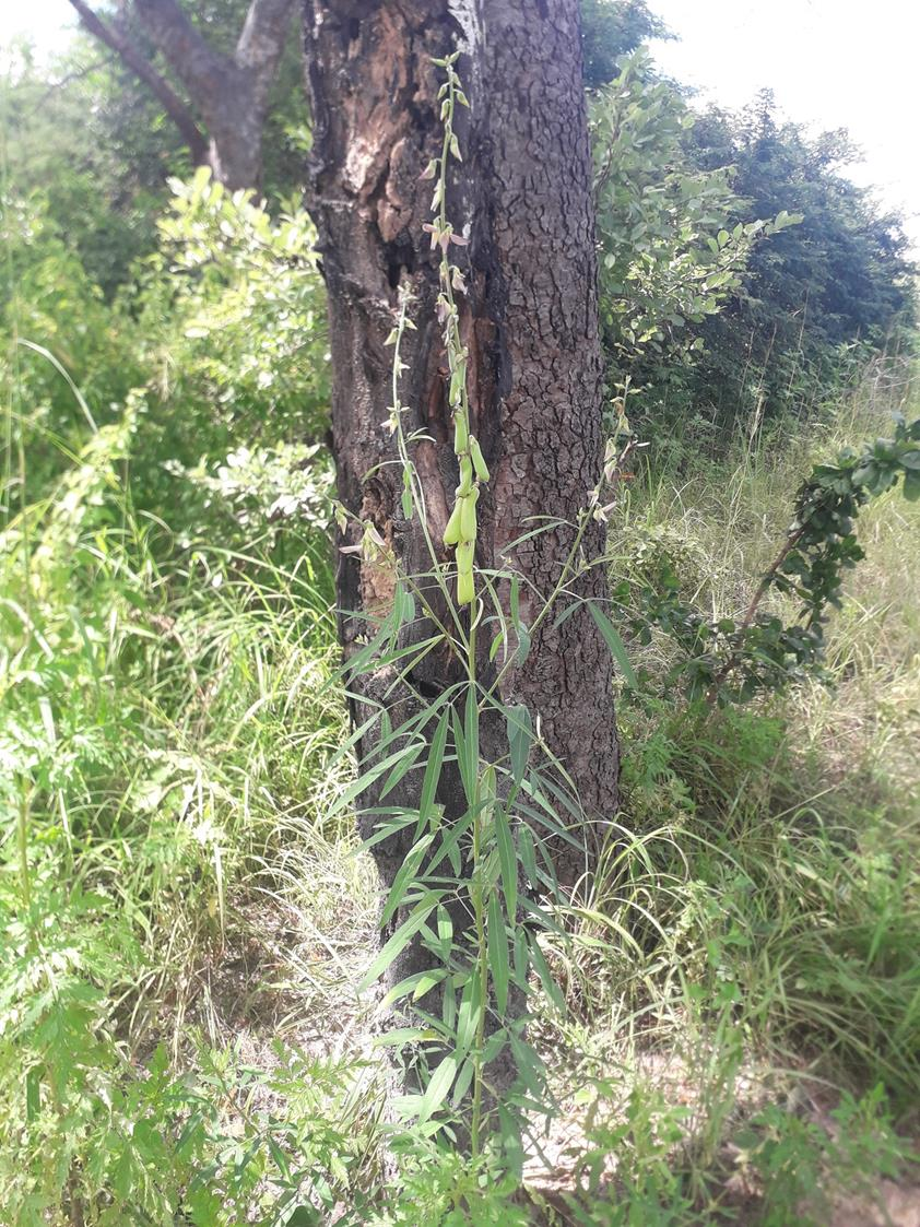 Crotalaria ochroleuca