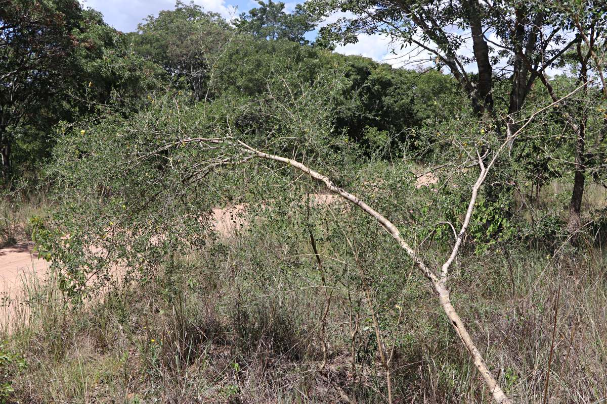 Crotalaria pallidicaulis