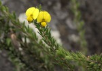 Crotalaria phylicoides