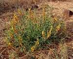 Crotalaria rogersii