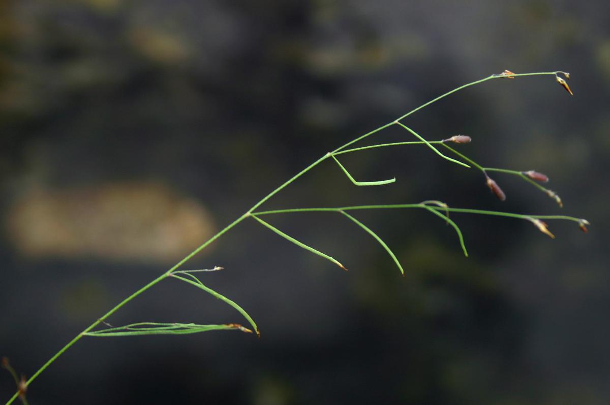 Crotalaria shirensis