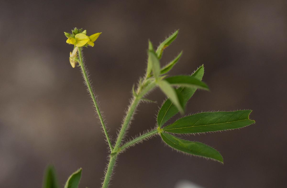 Crotalaria steudneri