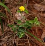 Argyrolobium rupestre subsp. rupestre