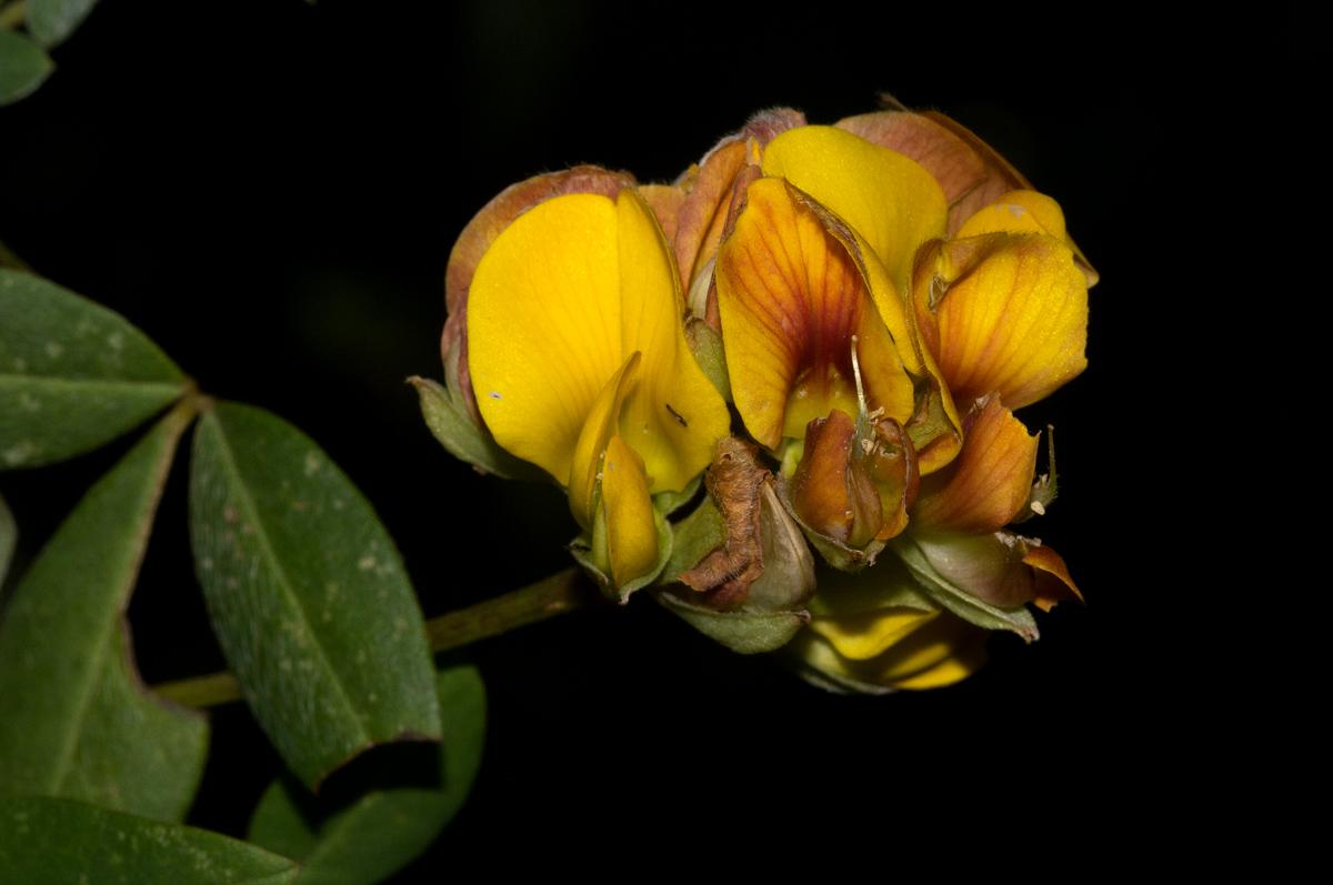 Argyrolobium tomentosum