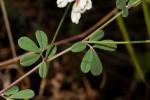 Lotus discolor subsp. discolor
