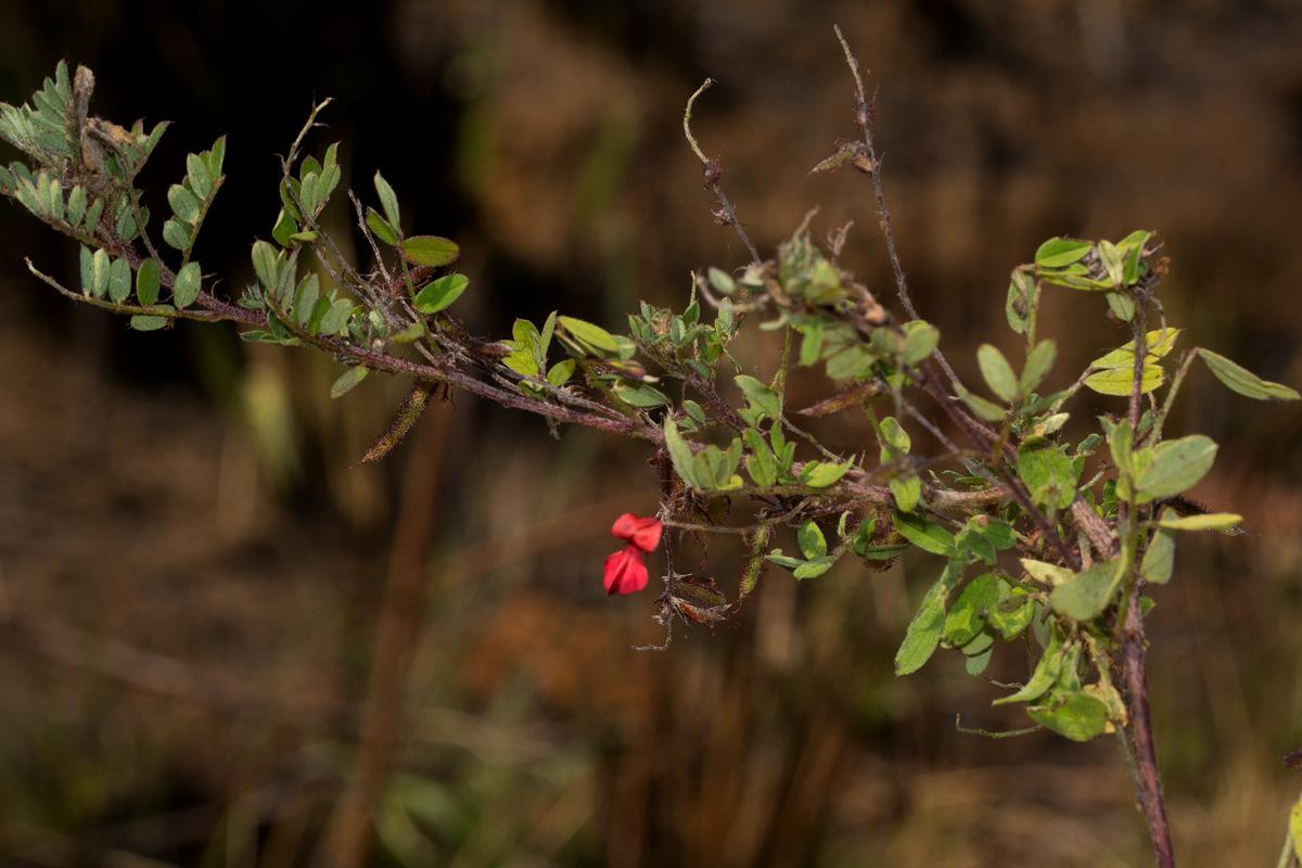 Indigofera atriceps subsp. atriceps