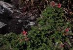 Indigofera cecilii