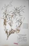 Indigofera charlieriana subsp. charlieriana var. charlieriana
