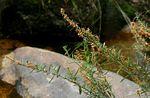 Indigofera paniculata subsp. gazensis