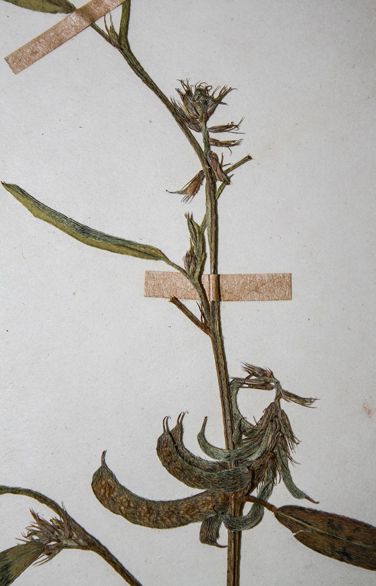 Indigofera rhytidocarpa var. rhytidocarpa