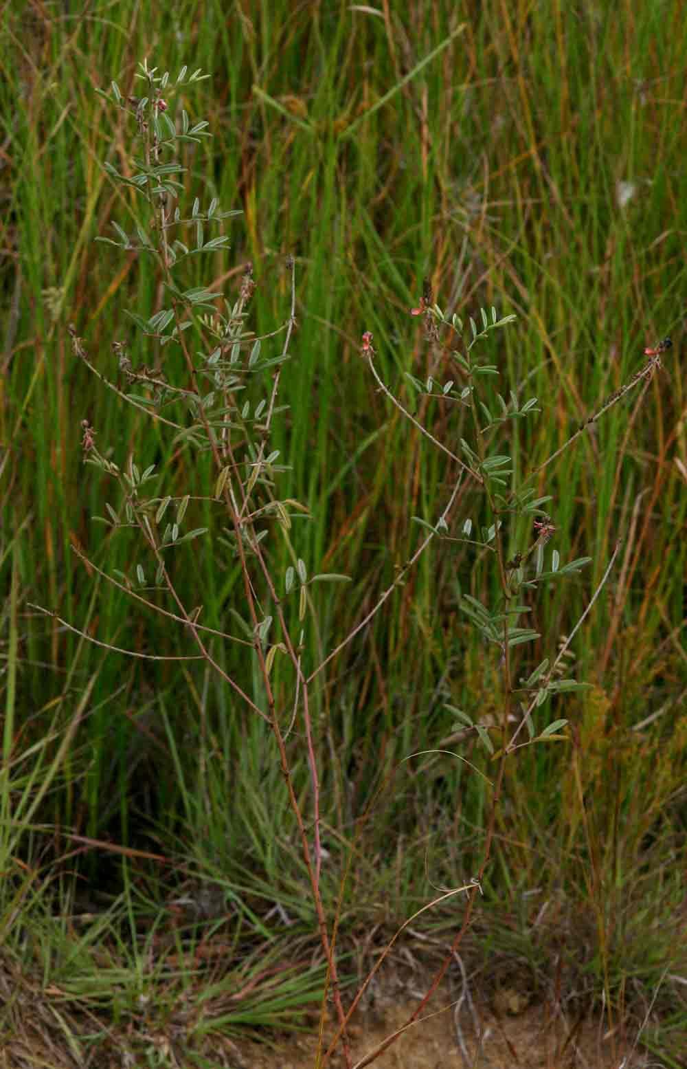 Indigofera setiflora var. setiflora