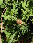 Indigofera spicata