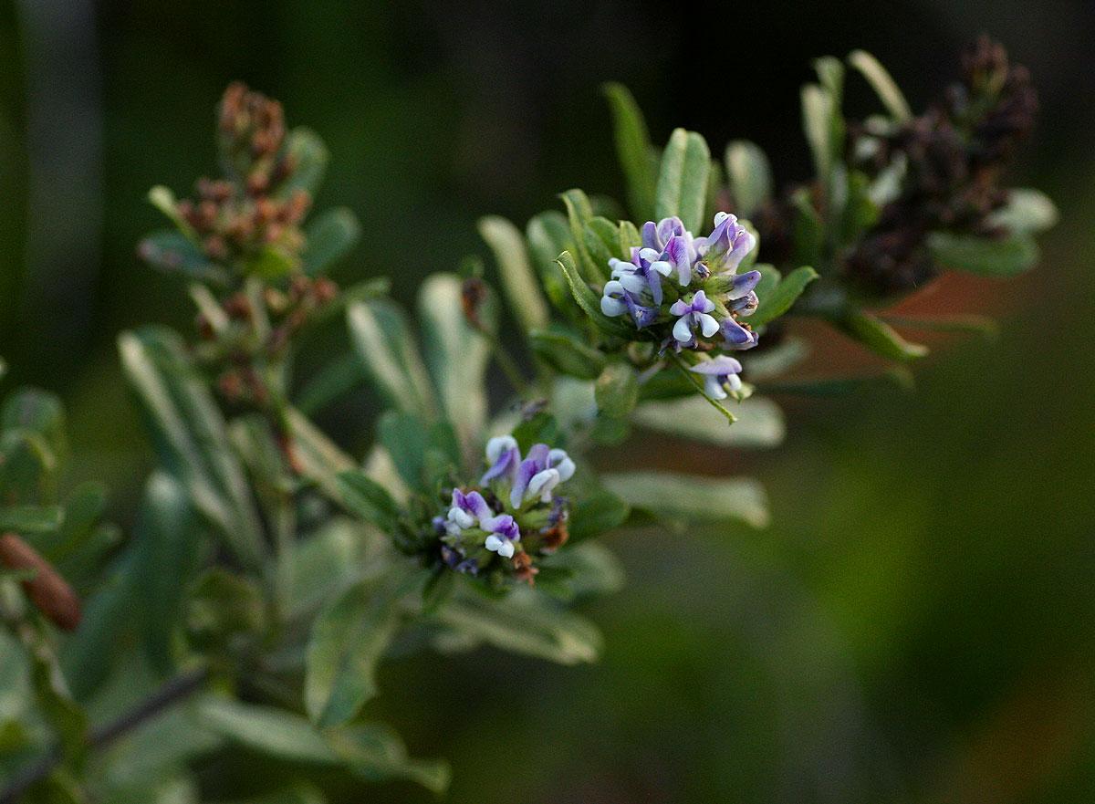 Otholobium foliosum subsp. gazense