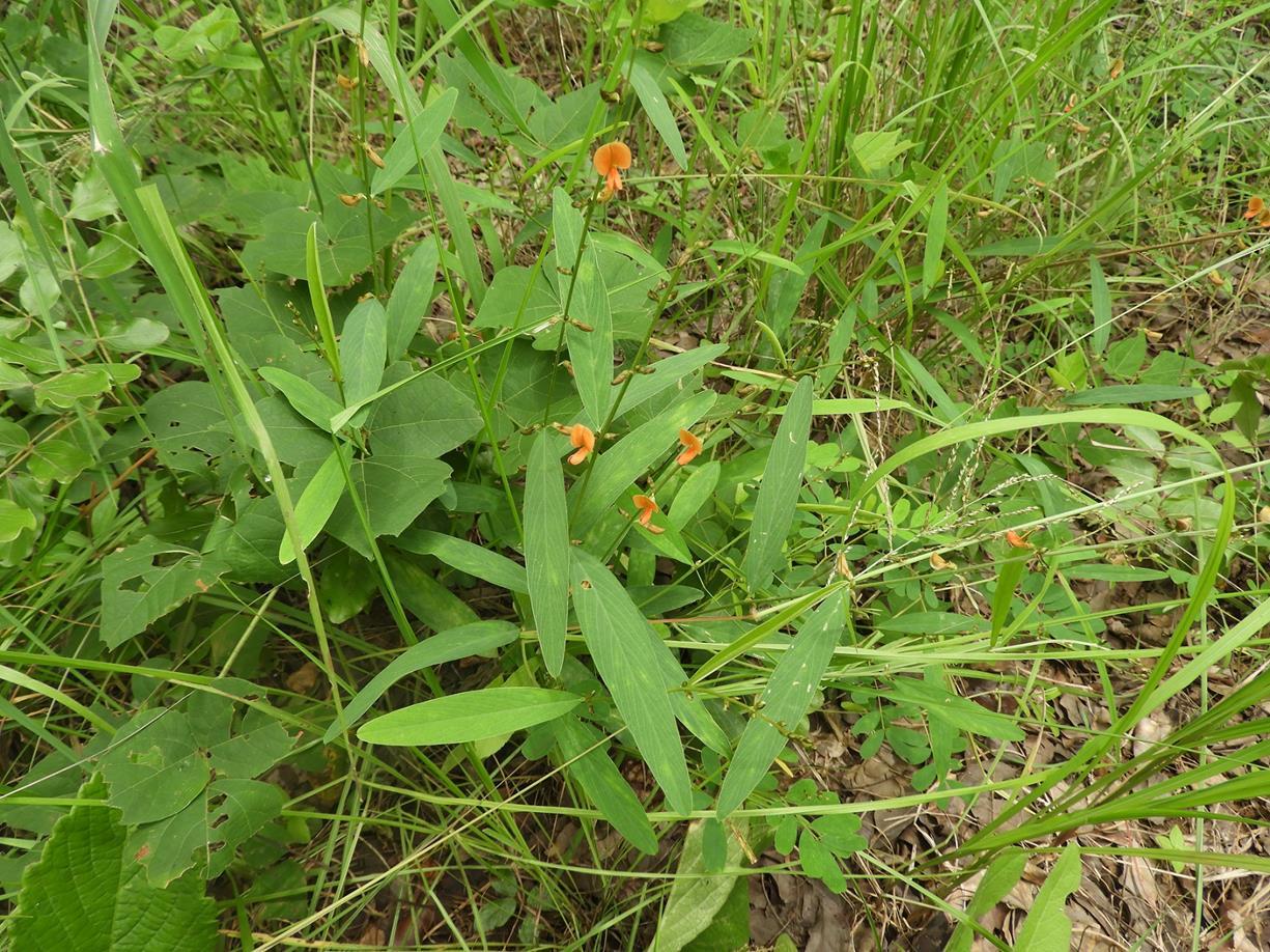 Tephrosia acaciifolia
