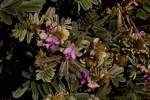 Tephrosia aequilata