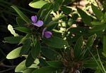 Tephrosia dasyphylla subsp. dasyphylla