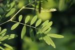 Tephrosia noctiflora