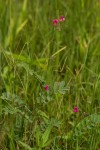 Tephrosia purpurea subsp. leptostachya