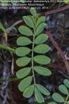Tephrosia purpurea subsp. leptostachya var. leptostachya