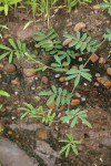 Tephrosia uniflora subsp. uniflora
