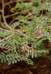 Tephrosia villosa subsp. ehrenbergiana var. daviesii