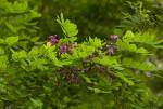 Millettia usaramensis subsp. australis