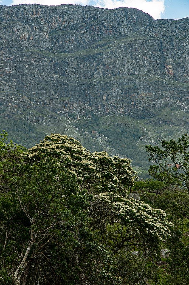 Craibia brevicaudata subsp. baptistarum