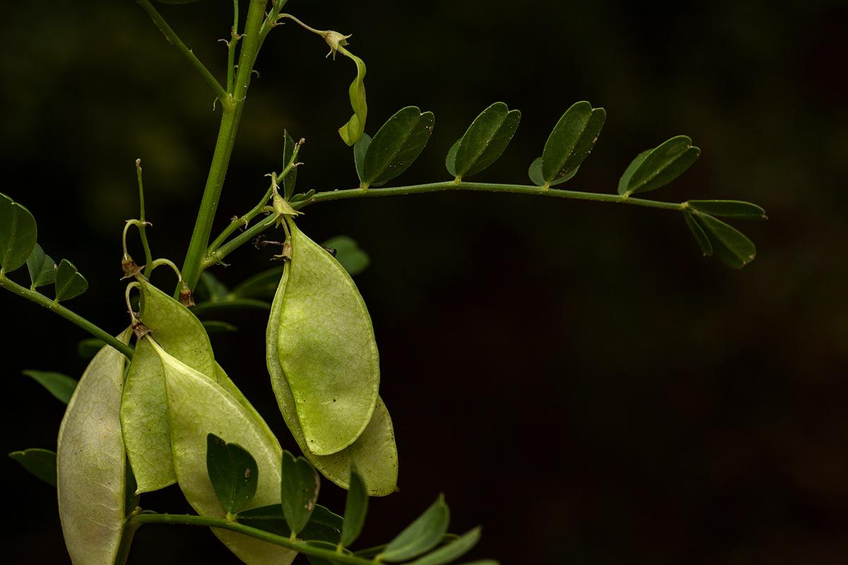 Lessertia benguellensis