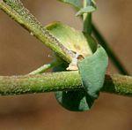 Astragalus atropilosulus subsp. abyssinicus var. burkeanus