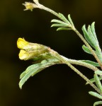 Antopetitia abyssinica