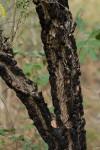 Ormocarpum trichocarpum