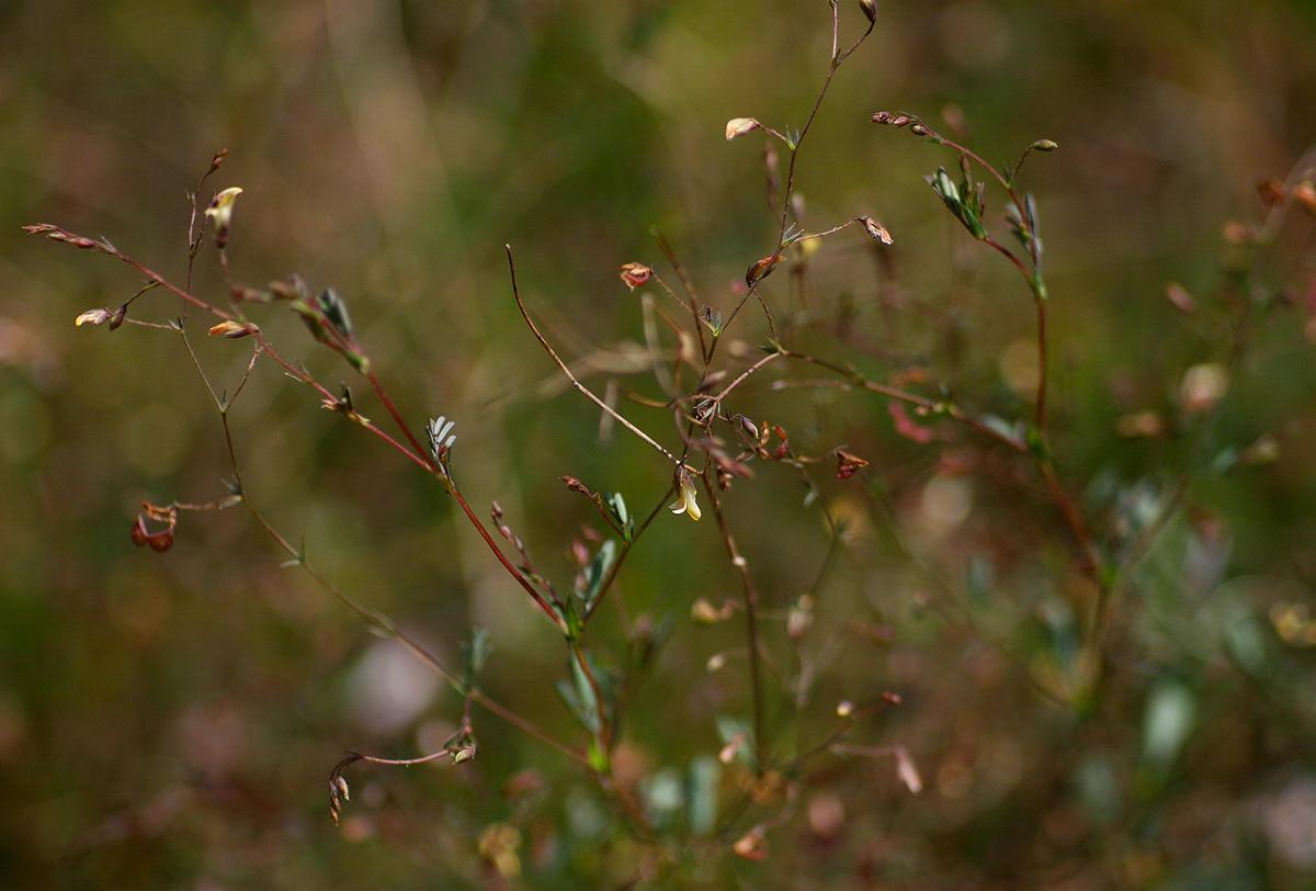 Aeschynomene minutiflora subsp. minutiflora