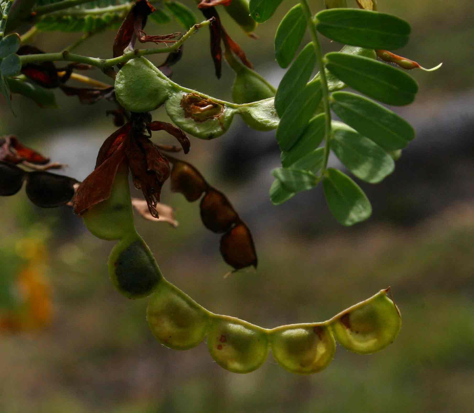 Aeschynomene nodulosa var. glabrescens