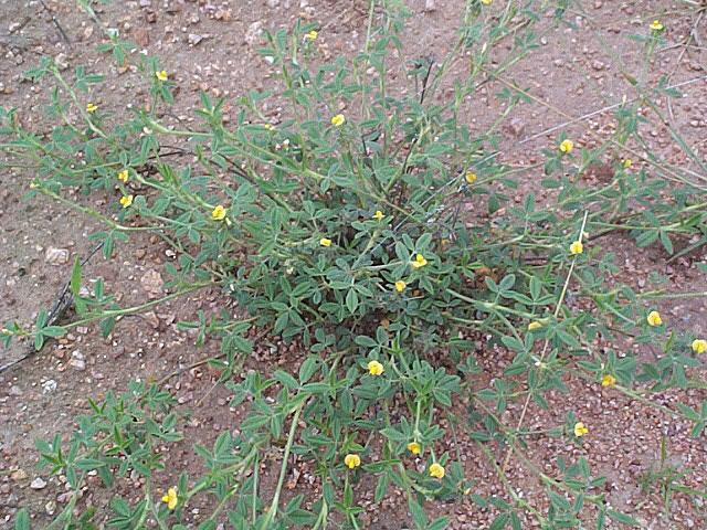 Stylosanthes fruticosa