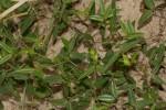 Zornia glochidiata