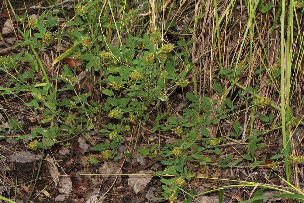 Desmodium barbatum var. dimorphum