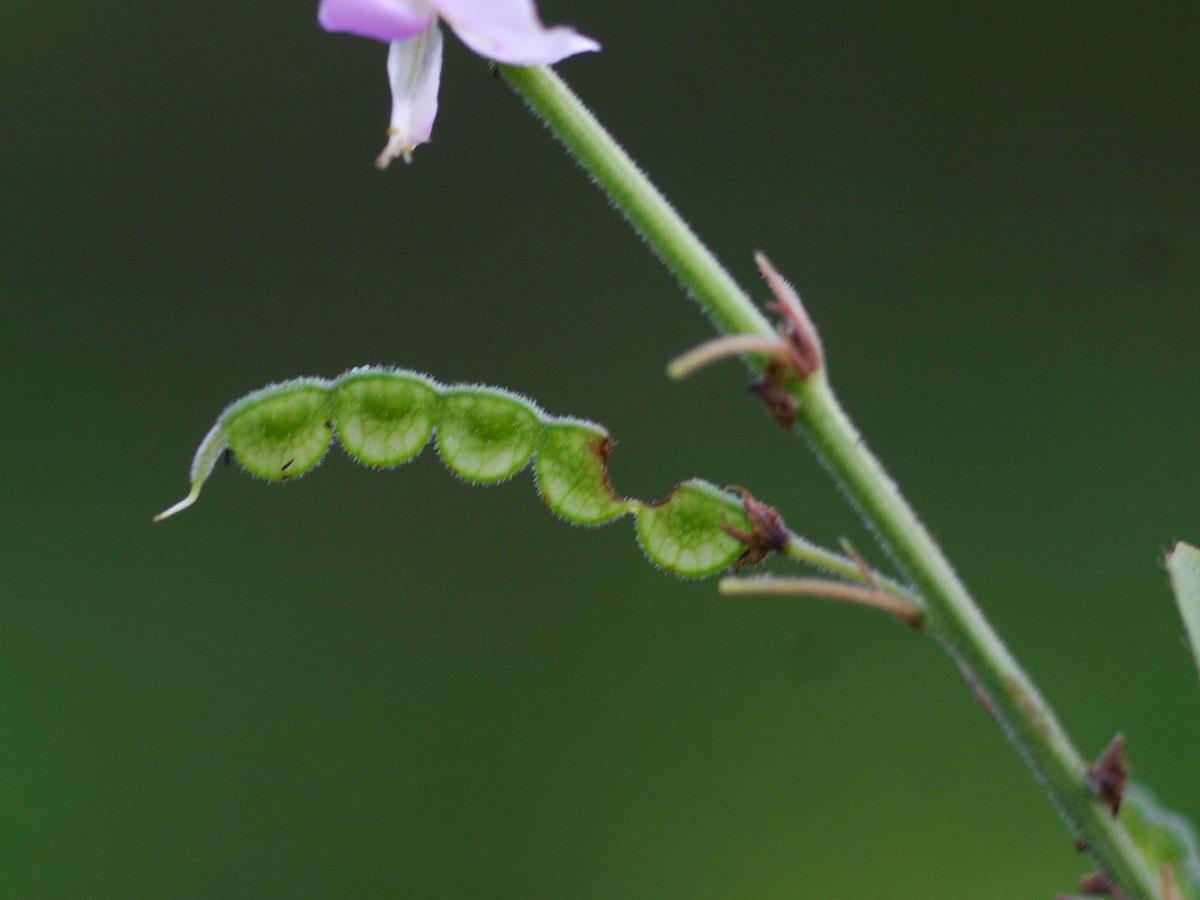 Pleurolobus gangeticus