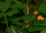 Hylodesmum repandum