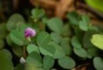 Grona triflora