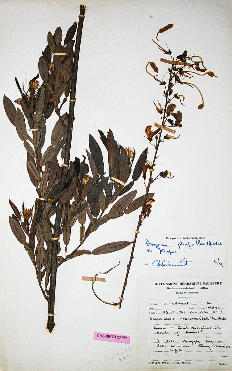 Droogmansia pteropus var. pteropus