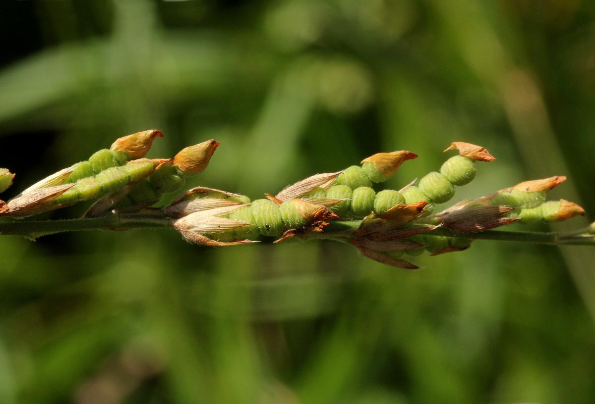 Alysicarpus glumaceus subsp. glumaceus
