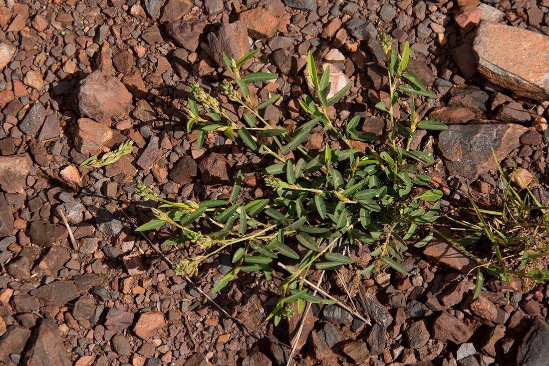 Alysicarpus rugosus subsp. perennirufus