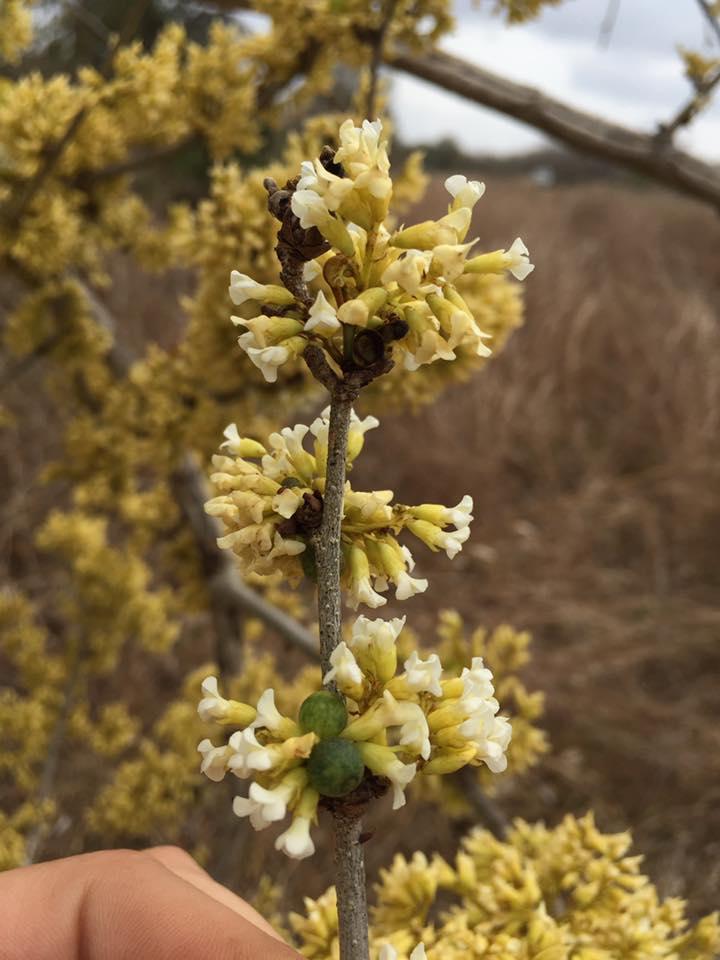 Dalbergia arbutifolia subsp. arbutifolia