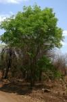Dalbergia boehmii subsp. boehmii