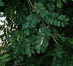 Dalbergia fischeri
