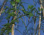 Dalbergia lactea